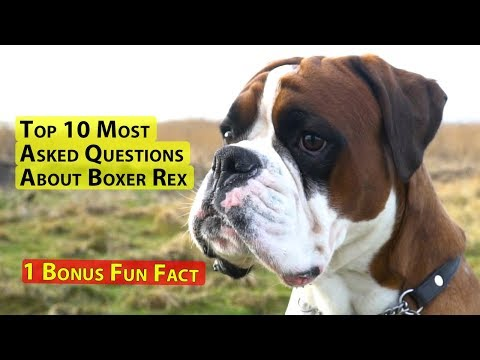 Top 10 Most Asked Question About Boxer Dog Rex And 1 Fun Fact
