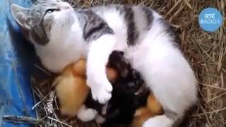 Многодетная мамаша котята и утята Юмор! Прикол! Смех