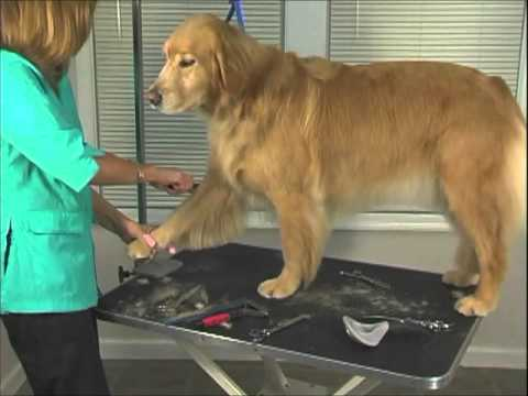 How To Groom Golden Retriever Jodi Murphy Instructional