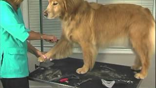 How To Groom:  Golden Retriever  Jodi Murphy Instructional Series Dvd