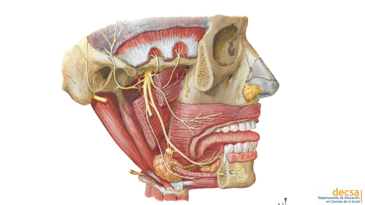 Fosa Infratemporal: Nervio Mandibular - Anatomía - YouTube