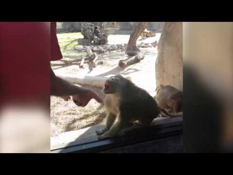 Baboon Loves Card Tricks