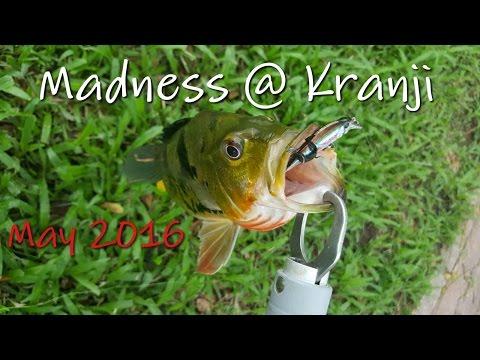 Fishing In Singapore: Kranji Madness, May 2016