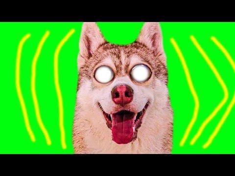 Я ЭКСТРАСЕНС! (Хаски Бублик) Говорящая собака Mister Booble
