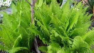 ПАПОРОТНИК В САДУ - ПОСАДКА, ВЫРАЩИВАНИЕ, УХОД, РАЗМНОЖЕНИЕ/ Ferns - planting, cultivation