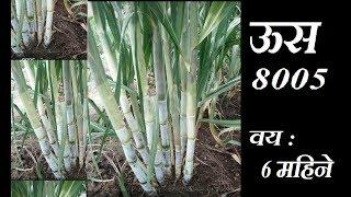 ऊस VSI 08005 | Sugarcane