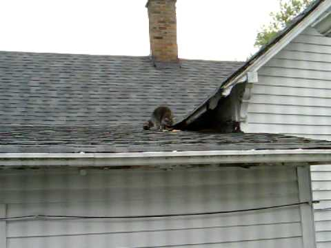 Rapture Day Raccoon On Neighbors Roof Part 2 Youtube