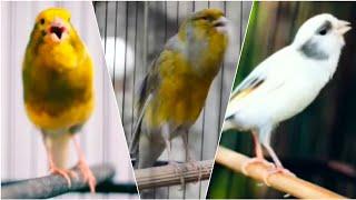 Download lagu KENARI NGEROLL Merangsang KENARI Paud Agar CEPAT ngeriwik BEST CANARY Singging For Training