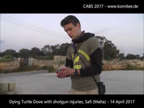Release of Turtle Doves from illegal trap on Gozo (Malta) - 13 April 2017 - CABS