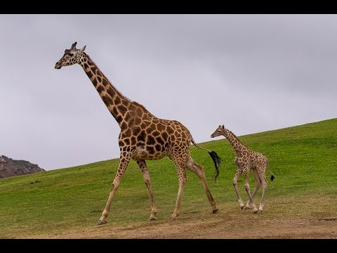 Thumbnail: Giraffe Calf Keeping Up with Mom
