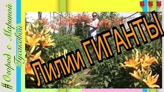 114).???????????? Когда Цветут Лилии. Восхитительная Цветущая Лилия. (27.06.17)