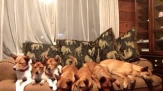 愛犬物語 7つ子の七ワンコたち。4ヶ月でこんなに大きくなりました。兄弟...
