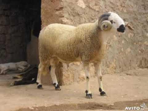هروب خروف العيد أجمل اللقطات المضحكة Youtube