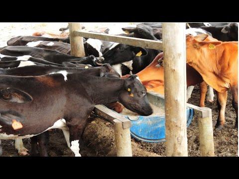 Curso Alimentação de Vacas Leiteiras