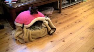 猫の発作 一部始終 左脳欠損による発作 thumbnail