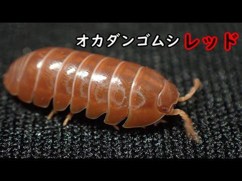 成長とともに色が変わるダンゴムシ!?オカダンゴムシレッド紹介! Armadillidium Vulgare Red