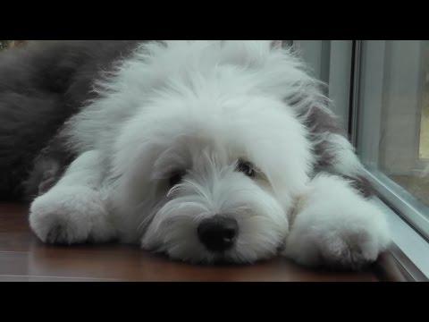 Бобтейл собака . ZooPlace.ru