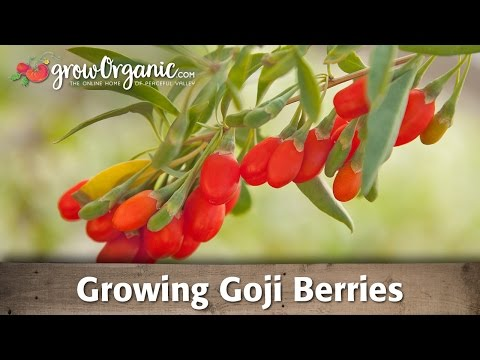 Growing Organic Goji Berries