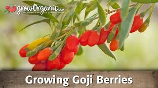 Growing Goji Berries(Learn how to grow this antoxident packed super food! Goji berries, or wolfberries as they are sometimes called, are easy to grow. They are hardy to USDA zone ..., 2013-01-30T21:43:21.000Z)