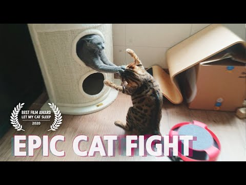 rare Epic cat fight !! Bengal vs Russian blue (tragedy)