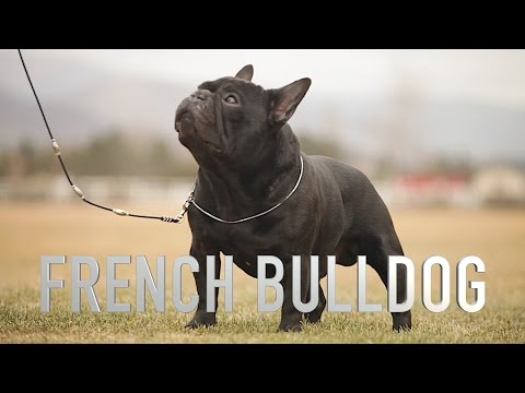FRENCH BULLDOG: A DOG LOVERS INTRODUCTION