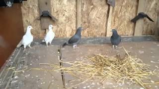 Racing pigeons 2016-04-26