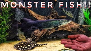 Peacock Bass, Arapaima and Stingrays, Oh My! A Monster Fishroom Tour