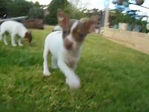 Tenterfield Terrier Rosie 3rd  (6weeks)