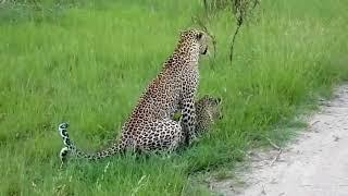 Леопарды в спаривании и бедные женщины принимают несколько укусов на спине