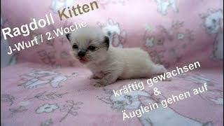 Ragdoll Kitten | unser J-Wurf in der zweiten Woche | Aramintapaws Ragdolls