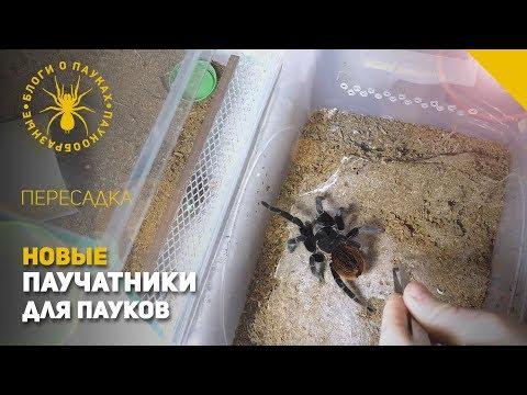 Видео: Пересадили 3х паучков в новые паучатники