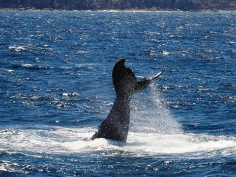 Whale Watching in the Pacific, Australia [1] 'Tail Ballet'
