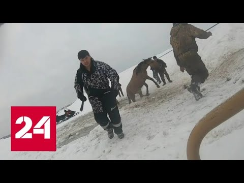 """""""Дура, выход там!"""": захватывающее дух спасание лошадей из ледяной ловушки сняли на видео - Россия 24"""