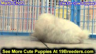 Maltichon, Puppies, For, Sale, In, Chicago, Illinois, Il, Carol Stream, Streamwood, Plainfield, Crys