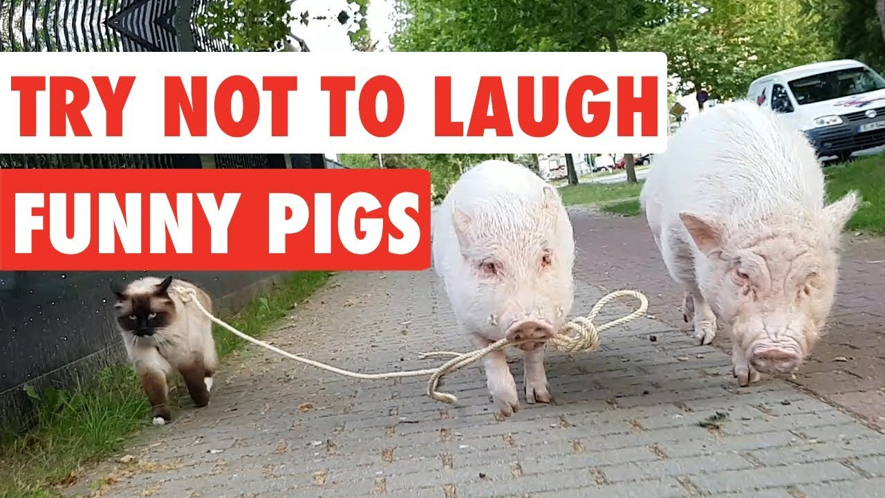 Pigs funny pictures of