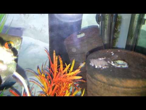 Angelfish With Wiggler Fry