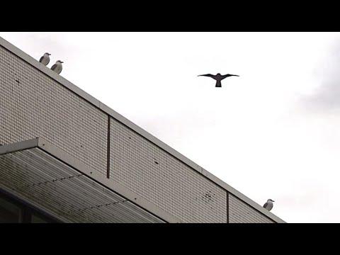 Realer Irrsinn: Möwenvergrämung an der Uni Kiel | extra 3 | NDR