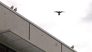 Realer Irrsinn: Möwenvergrämung an der Uni Kiel