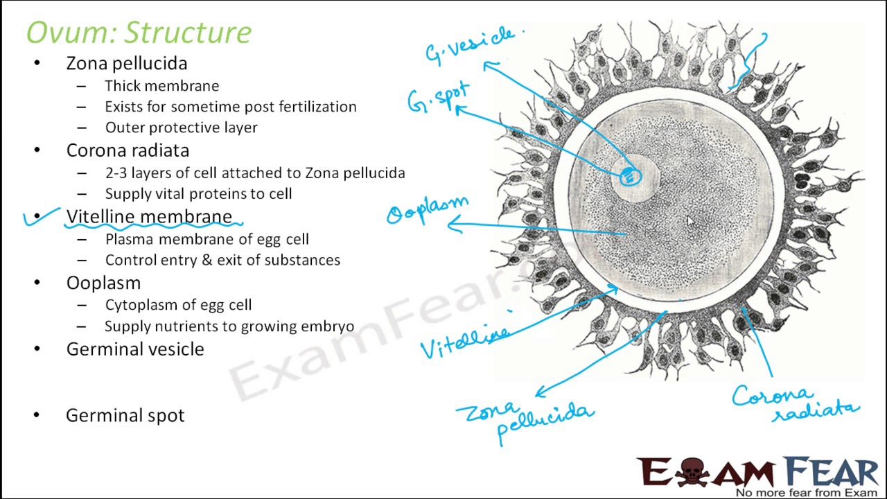 Biology Human Reproduction Part 12 Ovum Structure -1048