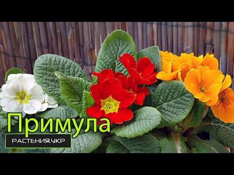 Первоцветы / многолетние цветы / примула уход