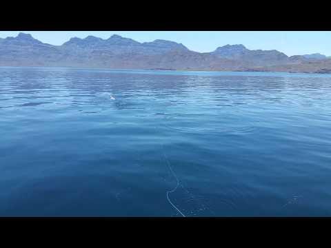 Sample Of Fly Fishing For Dorado In Baja