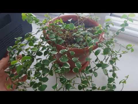 Растения в офисе. Фикус.Роза.Шефлера.Лимон.Хлорик)