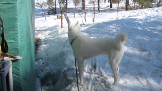 Siberian Husky Drinking Melting Snow From Roof