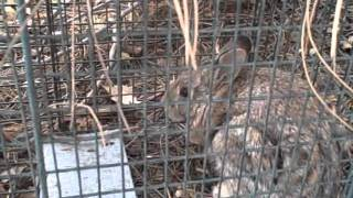 E&l Fishing Live Trapping Rabbits