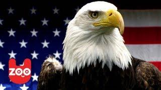 America's Greatest Animals: The Bald Eagle