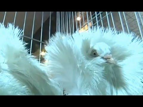 طيور ملونة تتألق في مسابقة جمال للحمام بالعراق