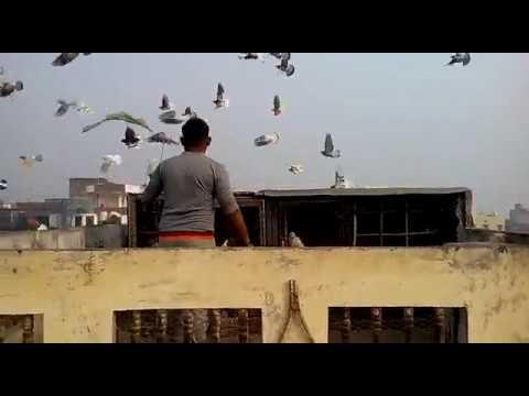 Varanasi Pigeon