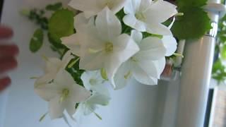 Кампанула невеста - Campanula isophylla Alba