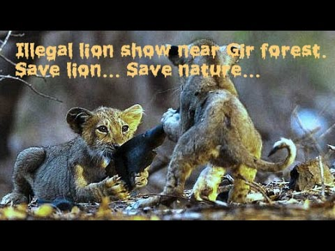 SEE SHOCKING VIDEO Illegal lion show near Gir. Endangered Asiatic lion live only in Gir forest