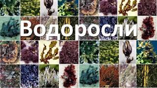 16. Водоросли (6 класс) - биология, подготовка к ЕГЭ и ОГЭ 2019